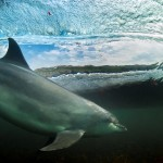 Bottlenose dolphin surfing photo by George Karbus