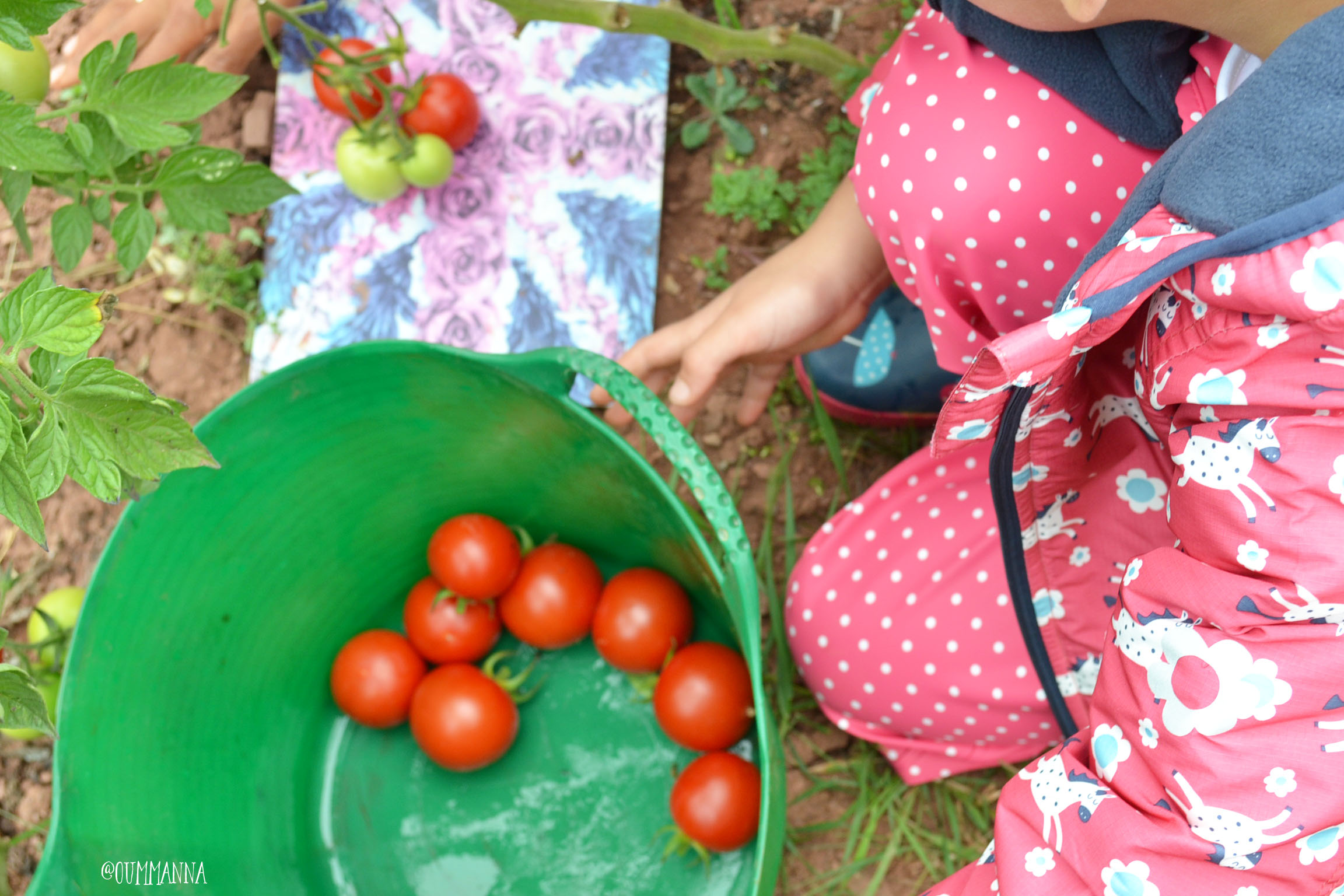 tomatoes-in-a-bucket
